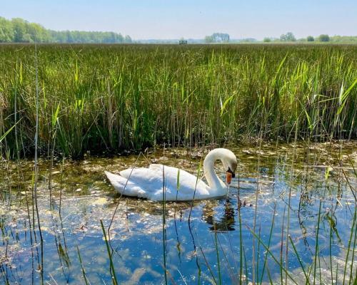 Swan at Strumpshaw Fen by Marianne Goodman